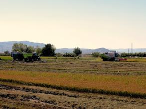 Photo: Rice harvesting, just outside St Jaume d'Enveja