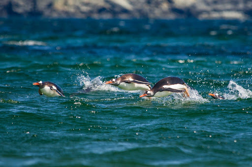 Ponant-Argentina-penguin-sea.jpg - Frolic along with the penguins on a Ponant cruise from Argentina to Antarctica.