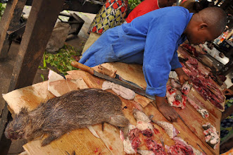 Photo: cane rat