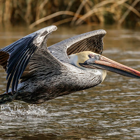 Pelican down low by Don Young - Animals Birds ( flight, brown pelican, bird of prey, nature, waterscape, pelican, action, birds )