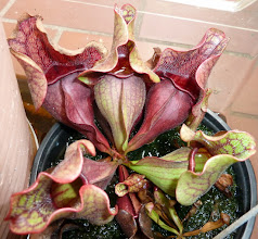 Photo: Sarracenia purpurea ssp. venosa