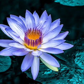 Glowing Lavender Waterlily by Joan Sharp - Flowers Flower Gardens ( aquatic flowers, teal, lavender, flowers, yellow glowing center,  )