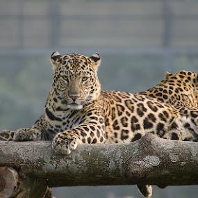 Starred by Nirupam Roy - Animals Lions, Tigers & Big Cats ( tiger, nirupam, leopard, photography, mamals )
