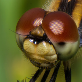 Dragon fly by Andrew Savasuk - Animals Insects & Spiders ( up close, macro, dragon fly, fly, bug, insect )