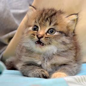 Teja by Azman Jaeh - Animals - Cats Kittens