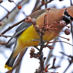 Snacking Waxwing by Bill Martin - Animals Birds ( bird, nature, tree, feeding, velvet, animal, waxwing,  )