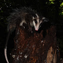 Southern Mexican Opossum