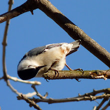 Photo: White-breasted Nuthatch