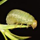 Paropsisterna obliterata
