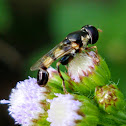 Thick legged hoverfly