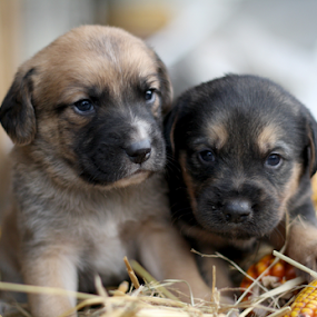 Brothers by Suzana Svečnjak - Animals - Dogs Puppies ( animals, puppies, dogs, pets,  )