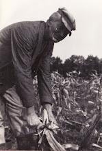 Photo: Le ramassage du maïs
