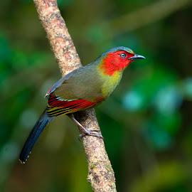Red-faced Liocichla by Suraj Ramamurthy - Animals Birds ( #thailand, #doiinthinon, #nikond4, #nikkor500mm, #highland )