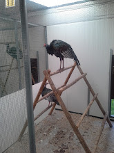 Photo: adult male ocellated Turkey or Agricharis ocellata in quarantine and ready for export