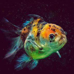 GOLD FISH by Frans Priyo - Animals Fish ( water, fish, beautiful, aquarium )