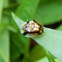 Mottled Tortoise Beetles (Mating)