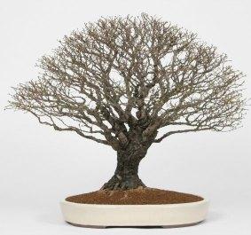 bonsai modelo hokidachi