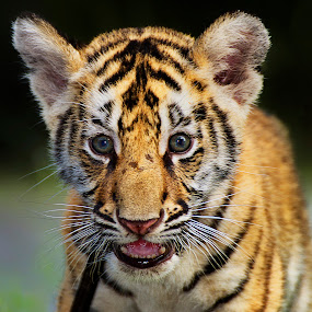 by Charliemagne Unggay - Animals Lions, Tigers & Big Cats ( baby, young, animal,  )