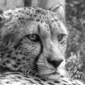 Just thinking by Ana Paula Filipe - Black & White Animals ( chita, feline, animal, portrait, look )