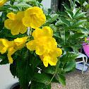 Yellow Trumpet flower