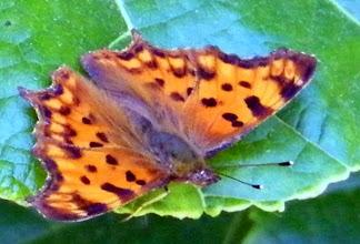 """Photo: Bonjour,  """"Robert le diable"""" (Polygonia c-album) se chauffe au soleil sur une feuille. Quel nom pour un papillon !"""
