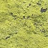 Dust Crusts lichen