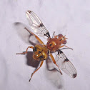 Richardiid fly