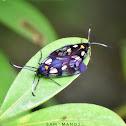 Wasp Moth / Day-flying Moth