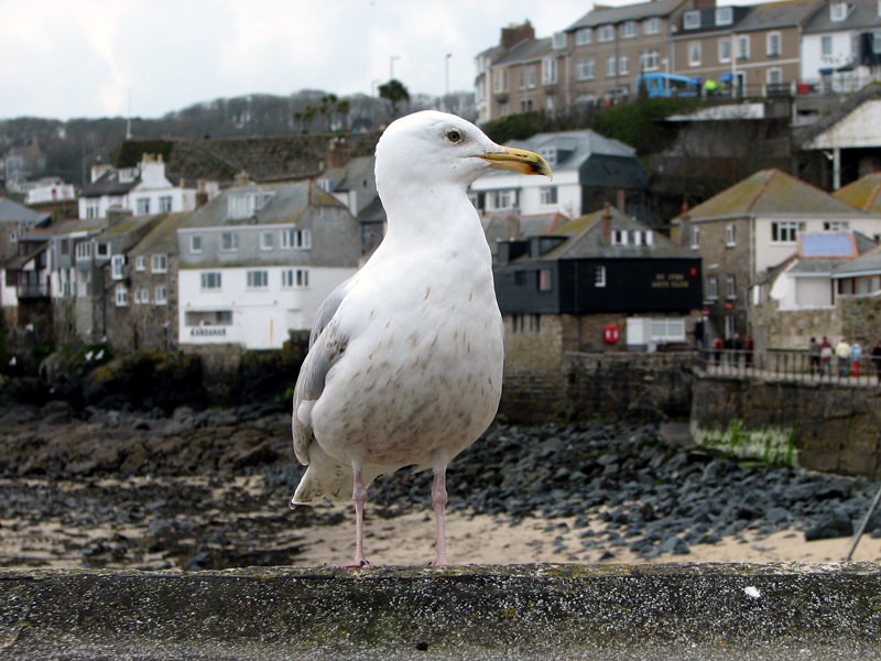 Photo: Seagull in St Ives