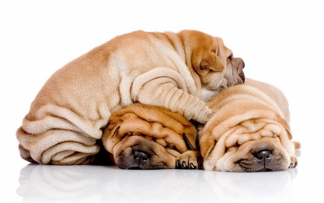 Chinese Shar-pei Themes & New Tab
