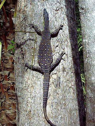 species of monitor lizard