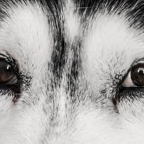 Beloved Eyes by Svetoslava Todorova - Animals - Dogs Portraits ( brown eyes, white, husky, dog, black, animal,  )