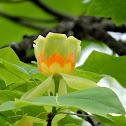 American Tulip Tree Bloom