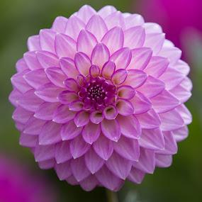 Purple Yes by Janet Marsh - Flowers Single Flower ( purple, dahlias )