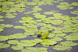 Photo: Year 2 Day 24 -  Lilly Pond #2