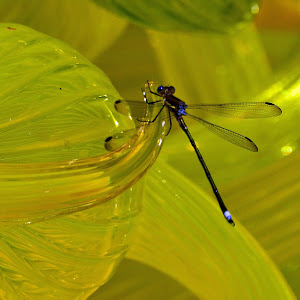 A Damsel Fly on Chihuly's Citron Tower b.jpg
