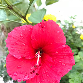 Red hibiscus 🌺 with dew 💦 by Indhumathi Karthikeyan - Instagram & Mobile iPhone