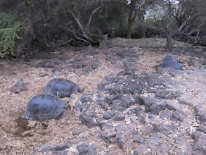Photo: Giant tortoises at Darwin Center