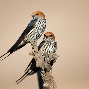 Lesser striped swallow by Dawie Nolte - Animals Birds ( swallows, lesser striped swallows, swallowtail, striped swallow,  )