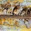 Feather boa kelp