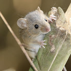 Darien  harvest mouse