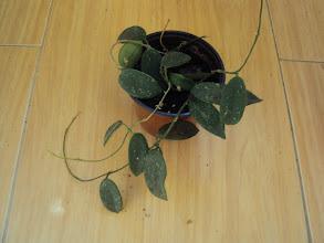 Photo: Hoya thomsonii de Asen y Kris