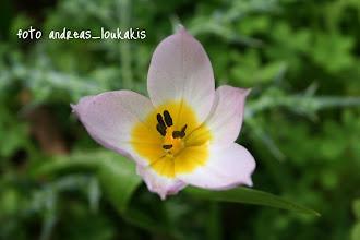 Photo: ΤΟΥΛΙΠΑ Η ΒΡΑΧΟΦΙΛΗ tulipa saxatilis ΚΕΦΑΛΟΒΡΥΣΟ ΚΑΛΑΜΑΥΚΑΣ