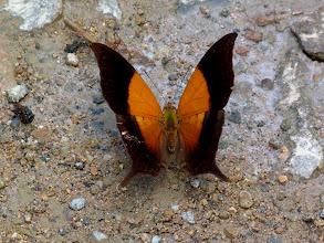 Photo: BLACK-BORDERED (GLOSSY) DAGGERWING--RIO CHALUAYACU