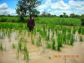 Photo: The improved rice cropping demo trials were located in a seasonal flooding pattern in Kaffrine Region, Senegal, West Africe. Here, we see the water level at the pique of the rainy season. [Photo by Lorraine Perricone - Dozza, August 2013]