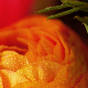 Morning Dew by Idan Presser - Nature Up Close Flowers - 2011-2013 ( orange, red, green, dew, rosemary, flower )
