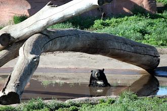Photo: 07/06/2013 - Bear Country Park, Rapid City, South Dakota - Black Bear - Who Me?????
