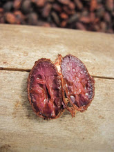 Photo: A cacao bean in the drying process
