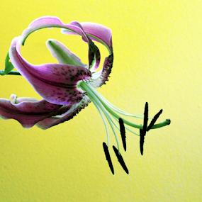 by Teresa Wooles - Flowers Single Flower ( single flower, purple lilly, flower,  )