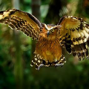 O w l by Jeffry Surianto - Animals Birds ( birds. owl )